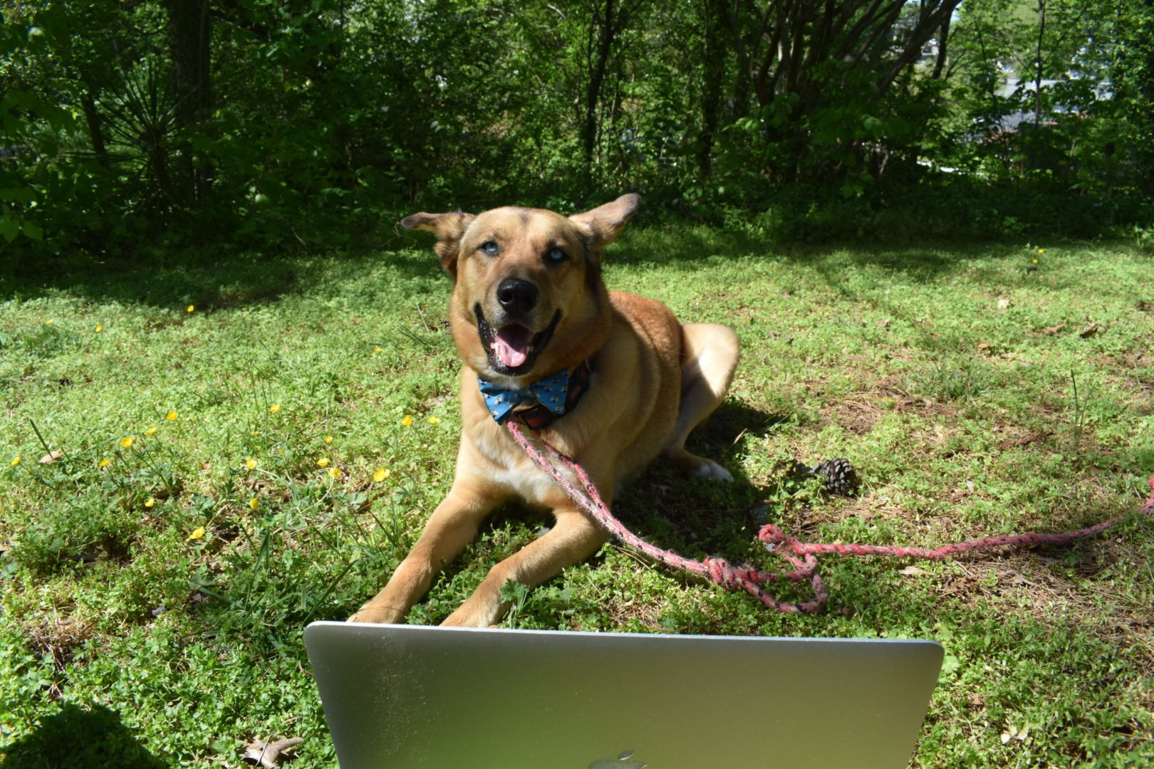 Picture of dog, Blu, with a bow tie in front of a laptop