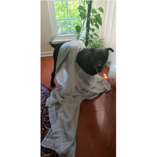 Picture of dog wrapped in curtains he tore down
